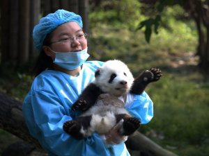 panda care - bred in captivity